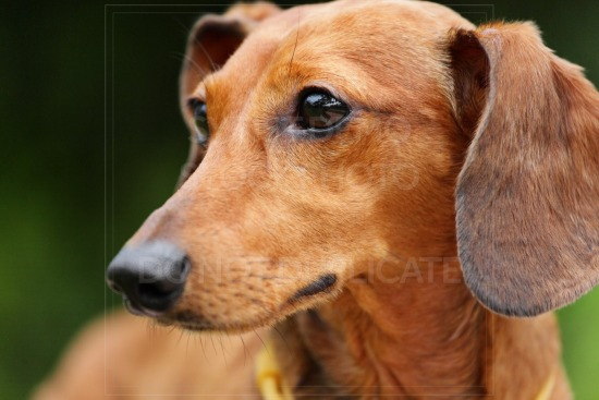 animal, dachshund, dog, doxie